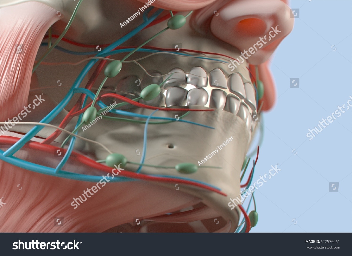 Anatomical Dental Model Human Teeth Dentistry Stock Illustration ...