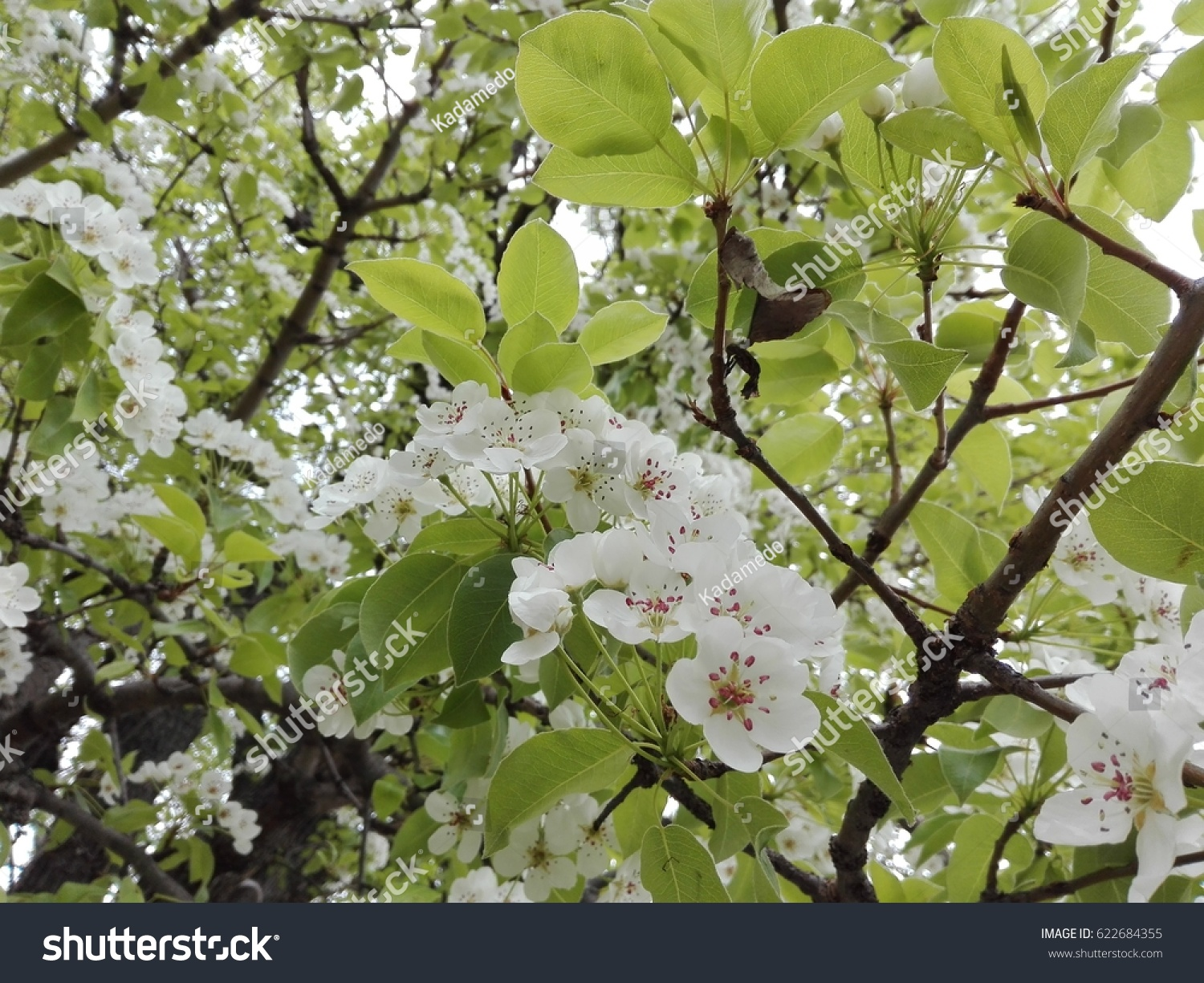 Pear Tree With White Flowers View In The Spring Ez Canvas