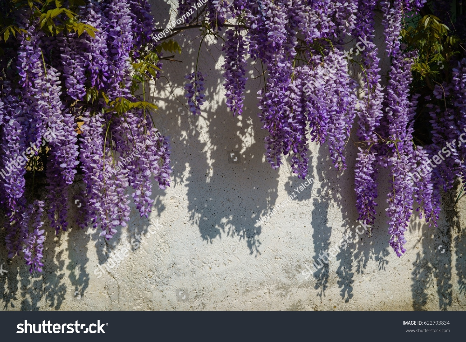 Group Hanging Plants Purple Flowers Known Stock Photo Edit Now