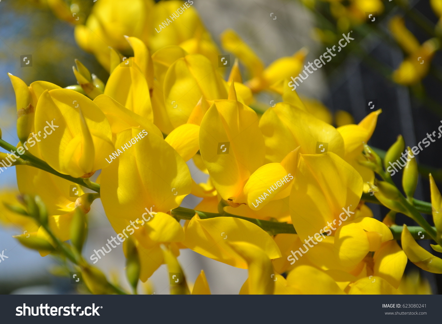 Flowering Shrub Gorse Spain Yellow Gorse Stock Photo Edit Now