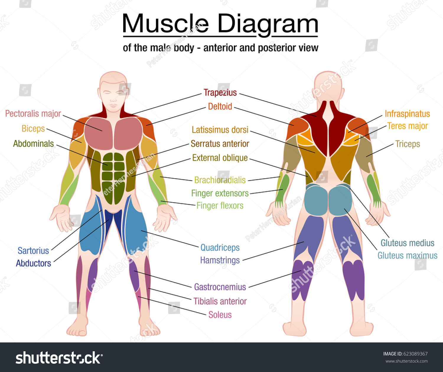 Muscle Diagram Most Important Muscles Athletic Stock Vector Royalty