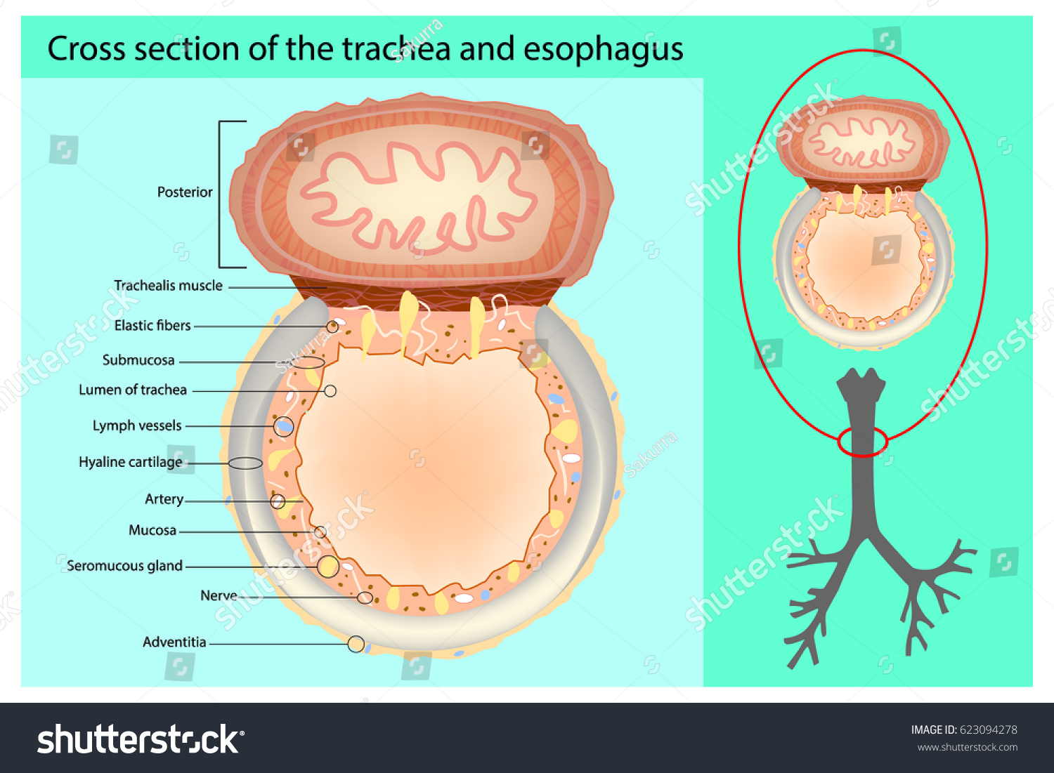 Stock Vector Cross Section Of The Trachea And Esophagus Trachea And Esophagus Anatomy