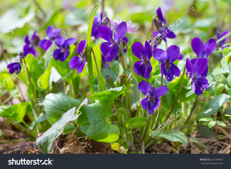 Violet Violets Flowers Bloom Spring Forest Stock Photo Edit Now