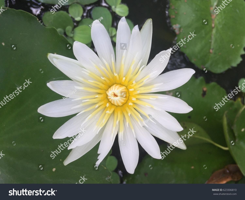White Lotus Flower And Lotus Flower Plants Ez Canvas
