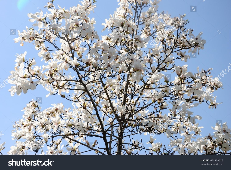 White Cherry Blossom On Blue Sky Blackground Ez Canvas