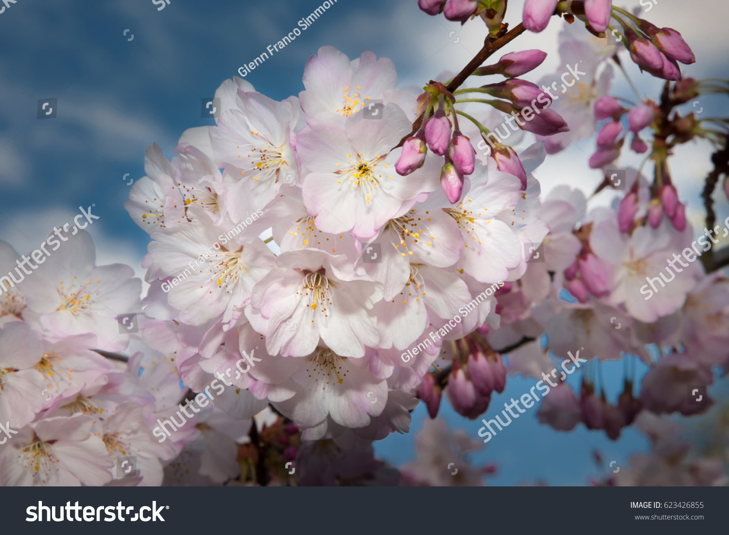 Pink White Cherry Blossoms Background Blue Stock Photo Edit Now
