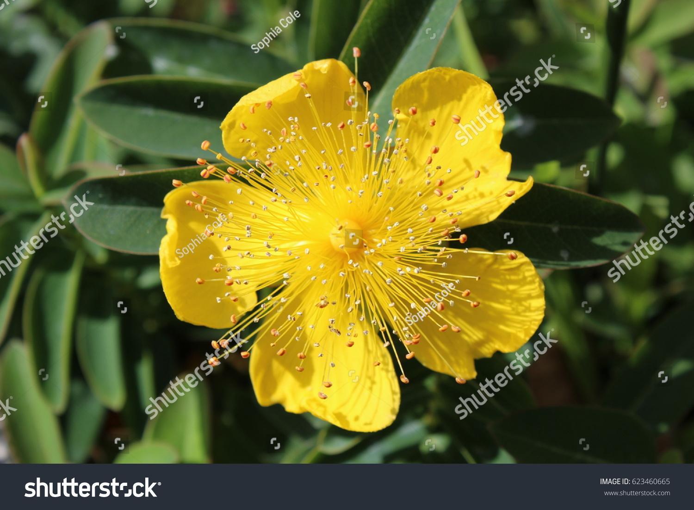 Yellow Flower Five Petals Stock Photo Edit Now 623460665