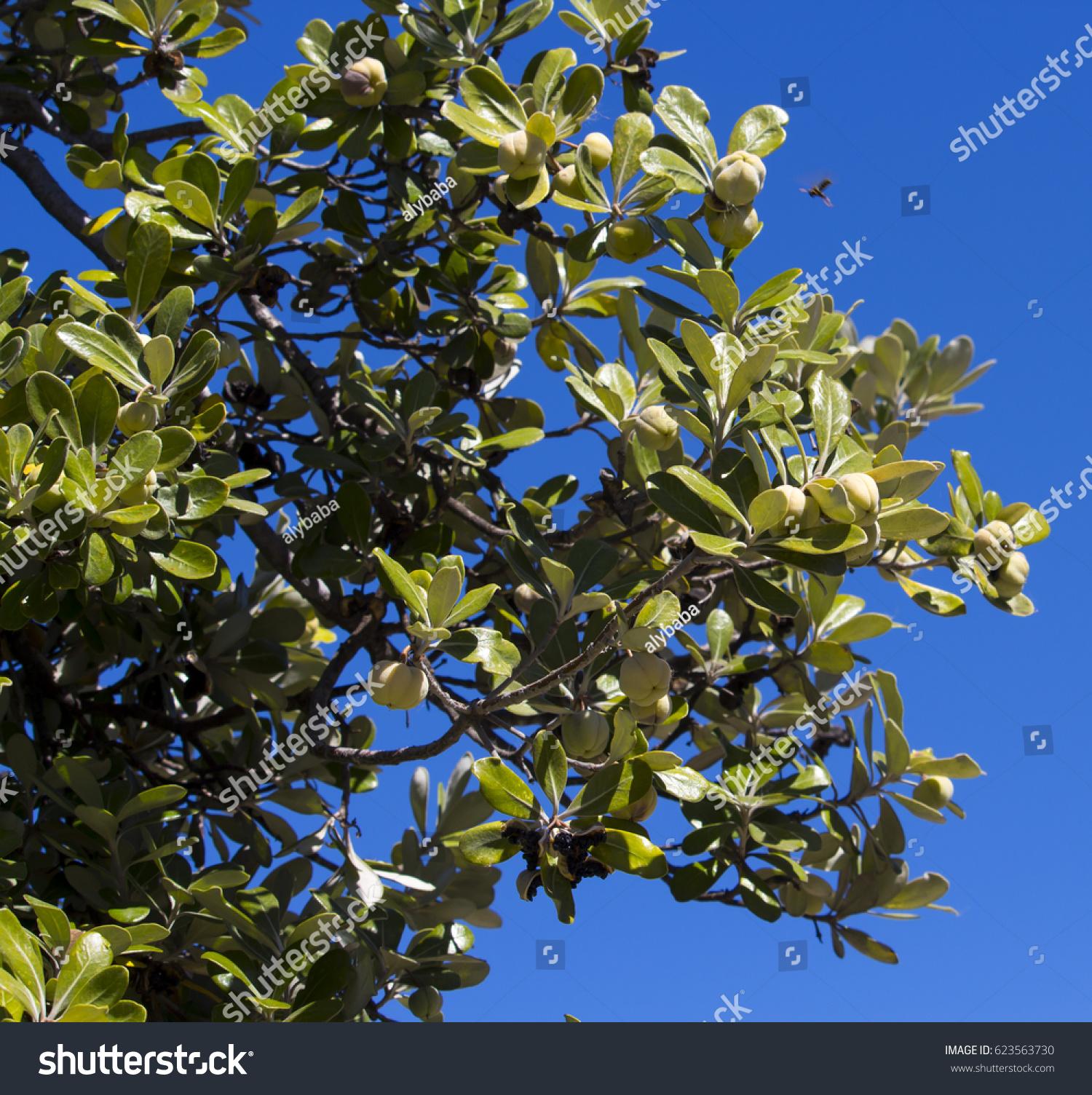 Seed Pods Lagunaria Patersonia Pyramid Tree Stock Photo Edit Now