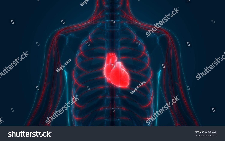 Human Body Organs Anatomy Heart Nervous Stock Illustration 623582924 ...