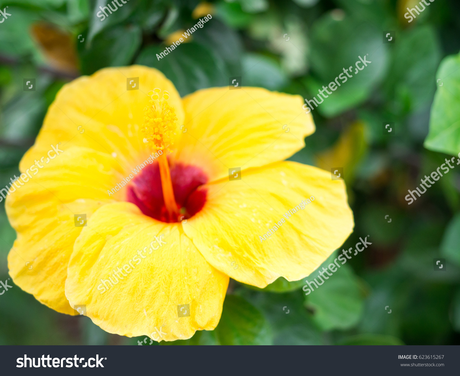 Shoe Flower China Rose Yellow Color Stock Photo Edit Now 623615267