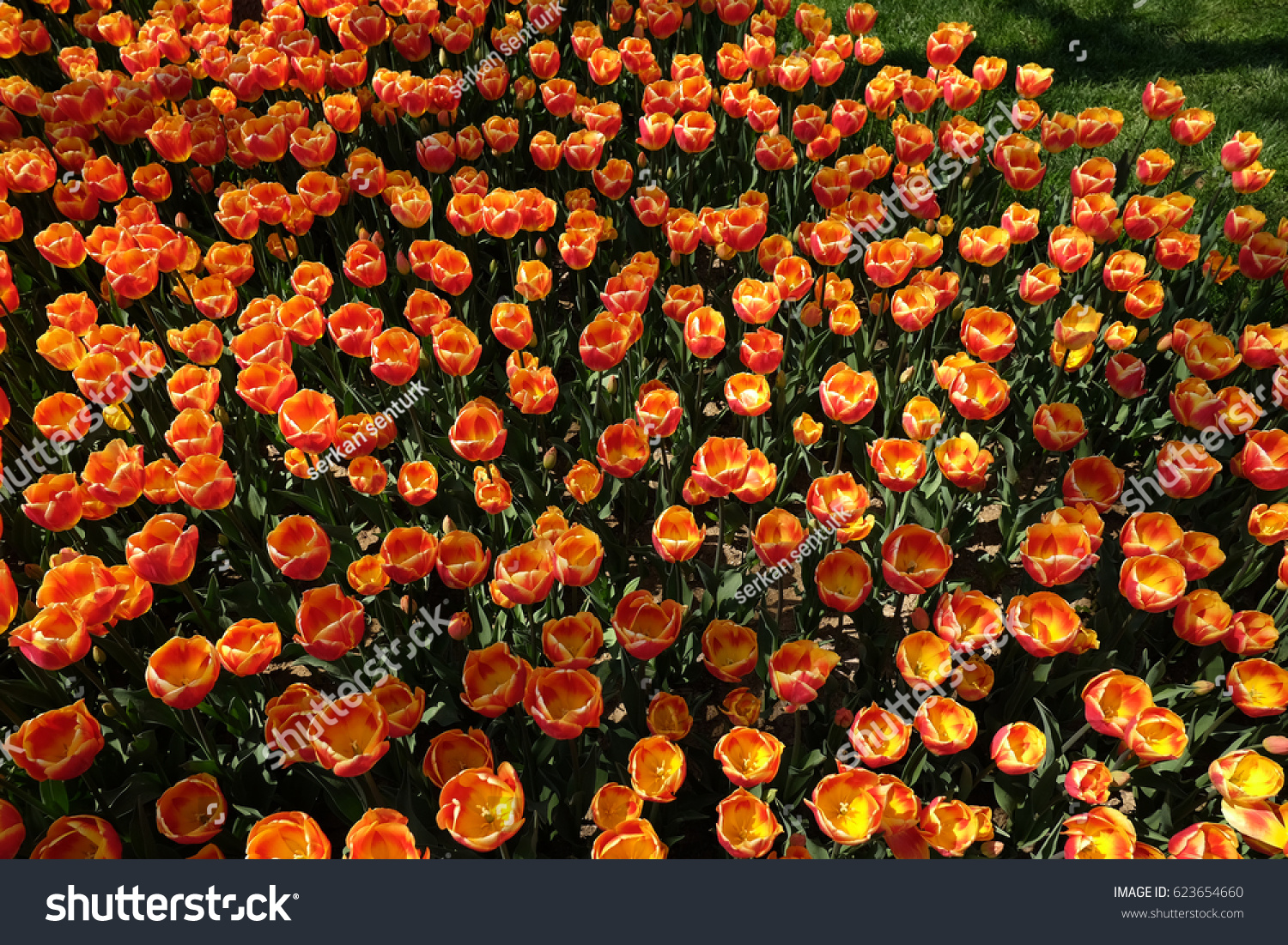 orange flowers marigolds landscape summer | EZ Canvas
