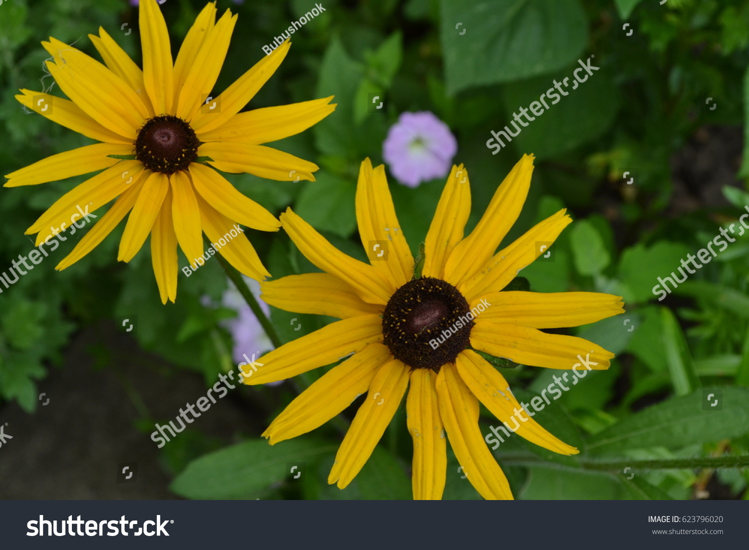 Rudbeckia perennial similar daisy tall flowers stock photo royalty similar to the daisy tall flowers flowers are yellow izmirmasajfo Choice Image