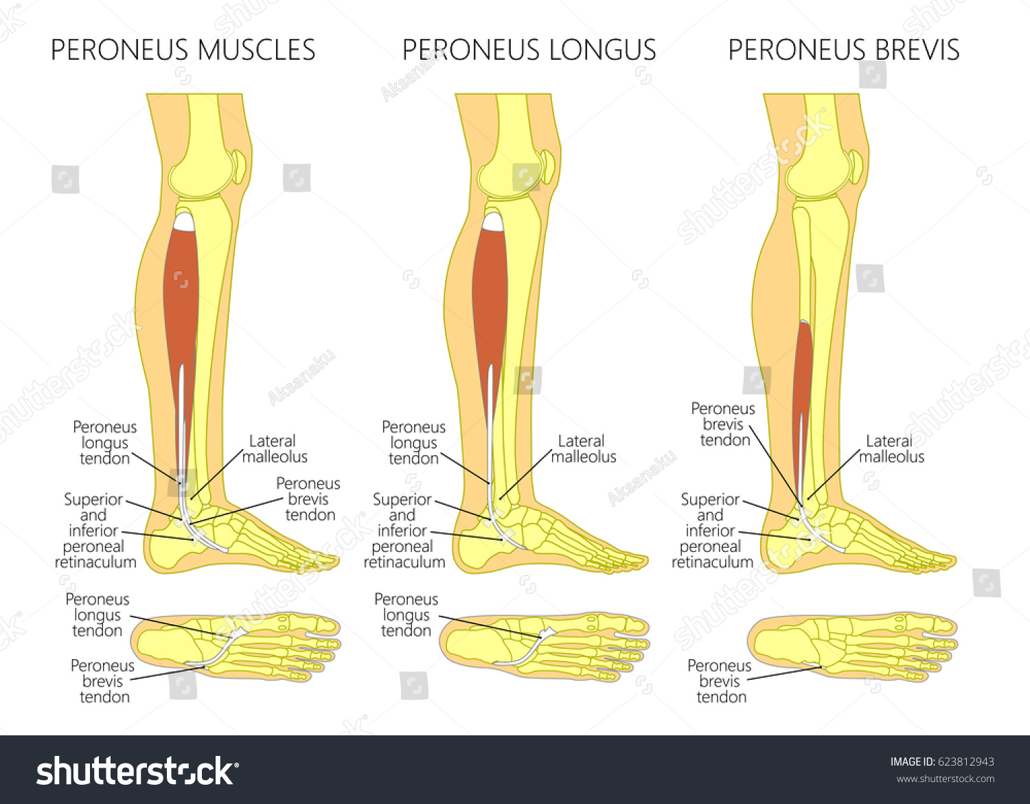 Vector Illustration Peroneus Longus Peroneus Brevis Stock Vector