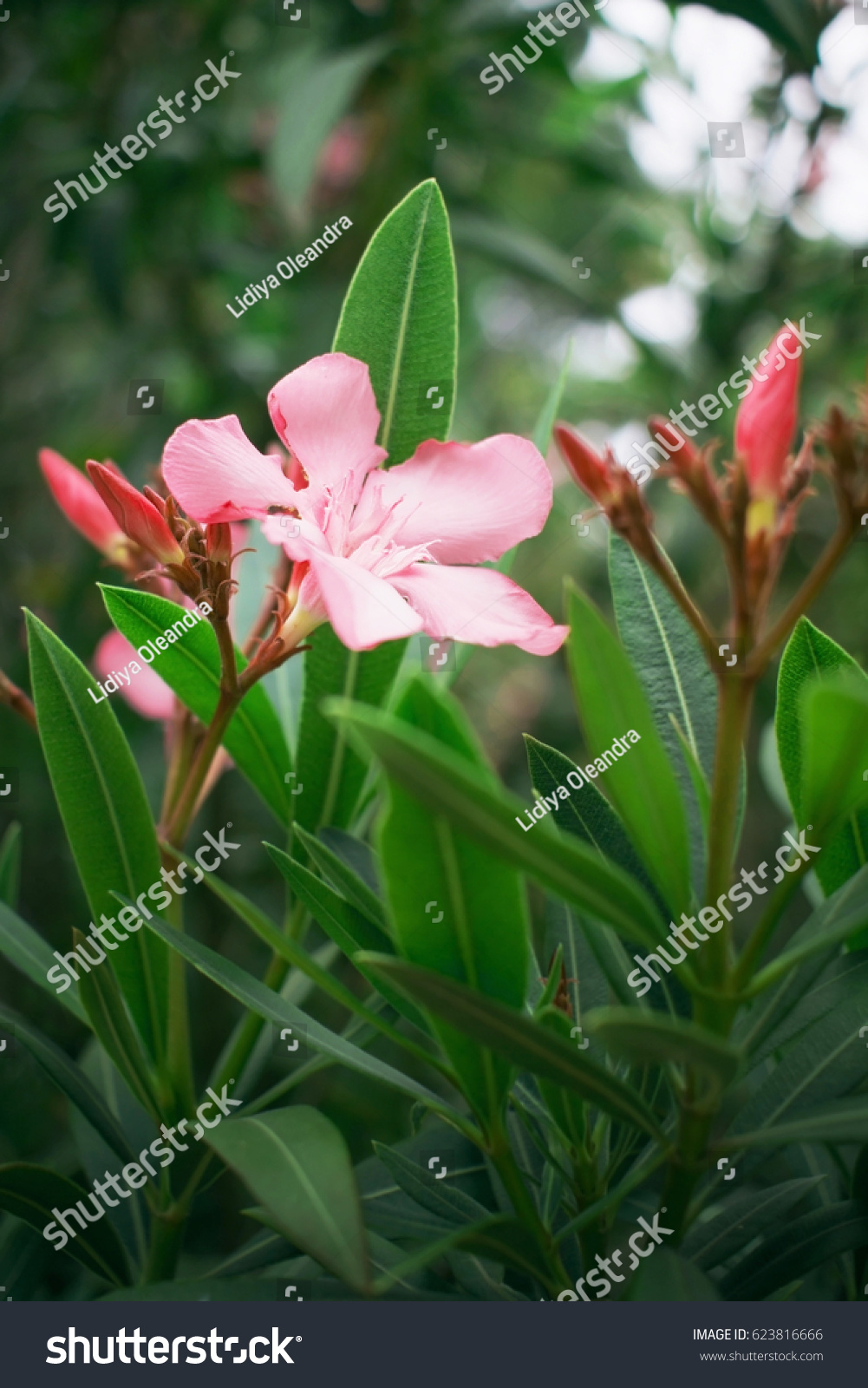 Nerium Oleander Flowers Stock Photo Edit Now 623816666 Shutterstock