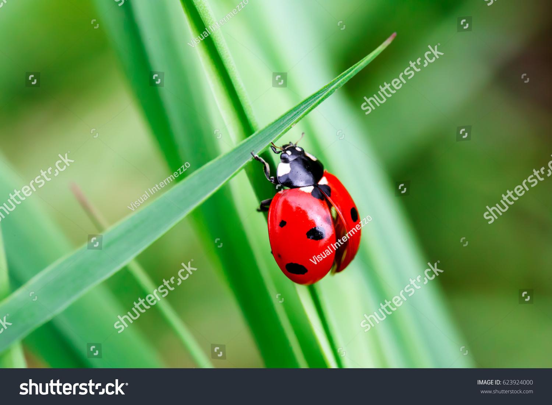 macro photo ladybug green grass macro stock photo 623924000