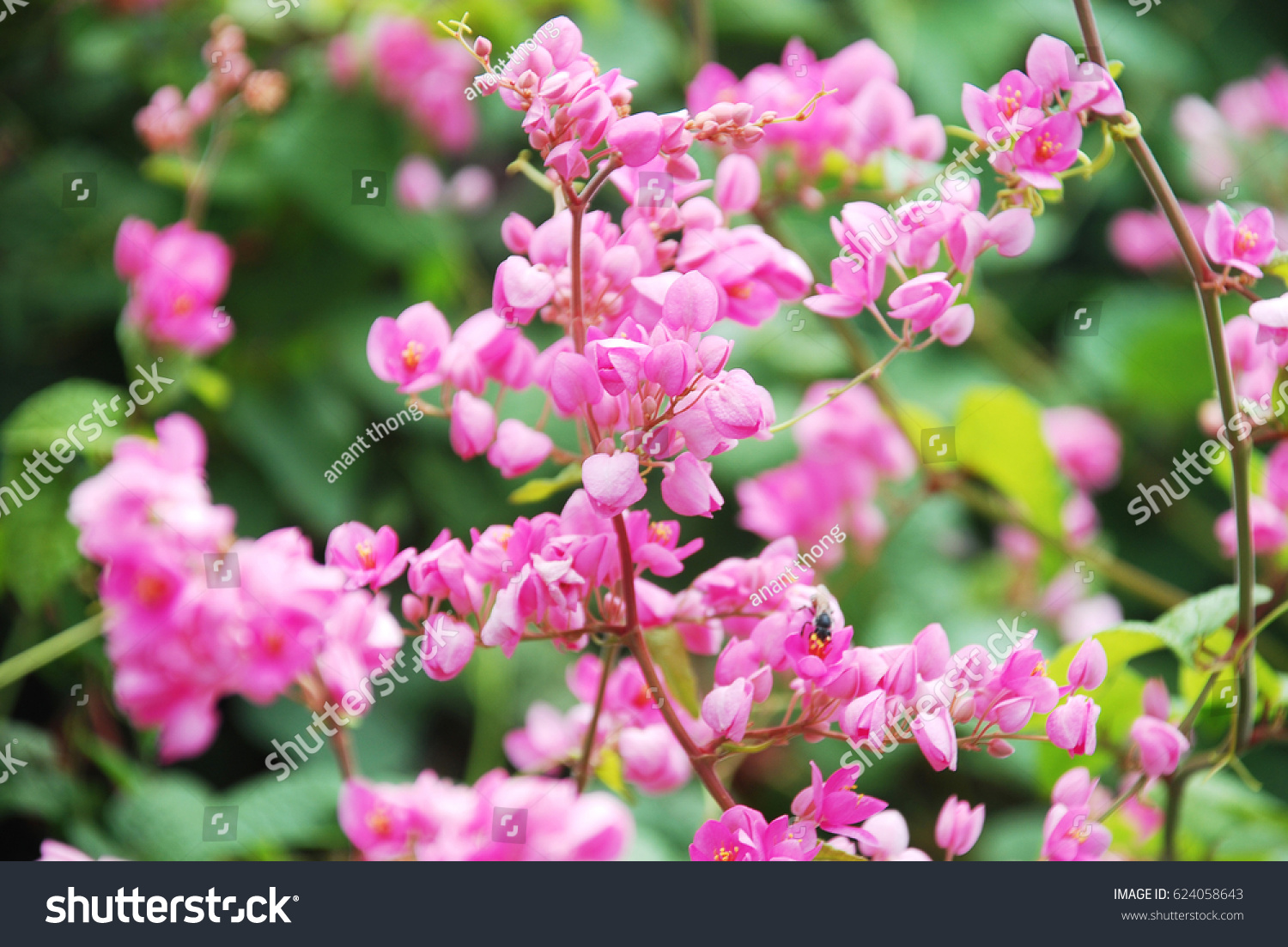 Pink Confederate Vine Or Tiny Pink Flowers Ez Canvas