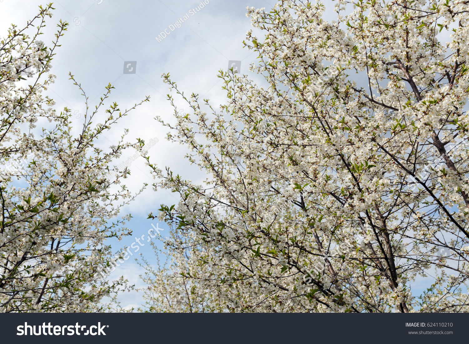 Blossom Cherry Trees White Flowers Spring Stock Photo Royalty Free