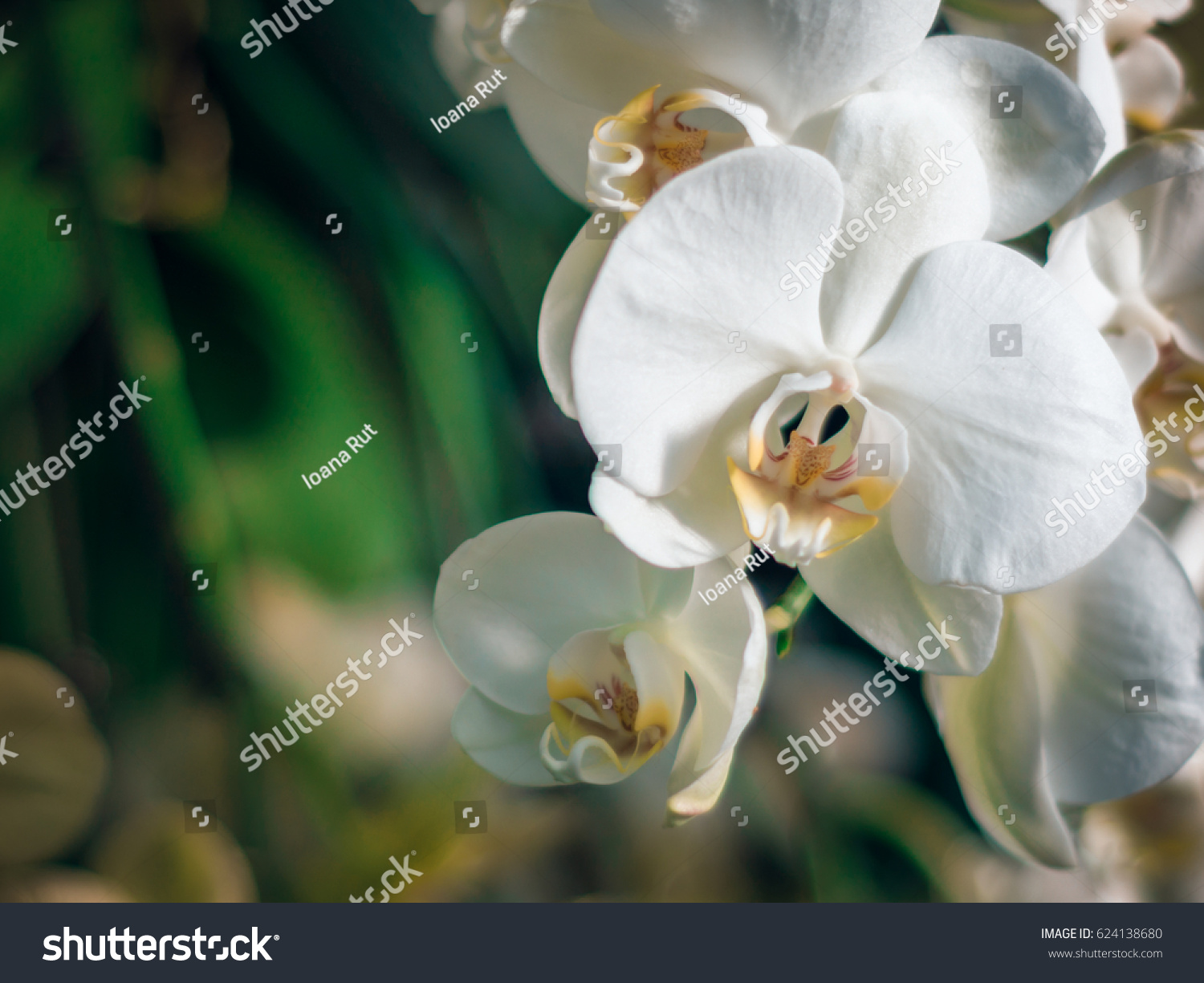 Amazing White Orchids Space Text Beautiful Stock Photo Edit Now