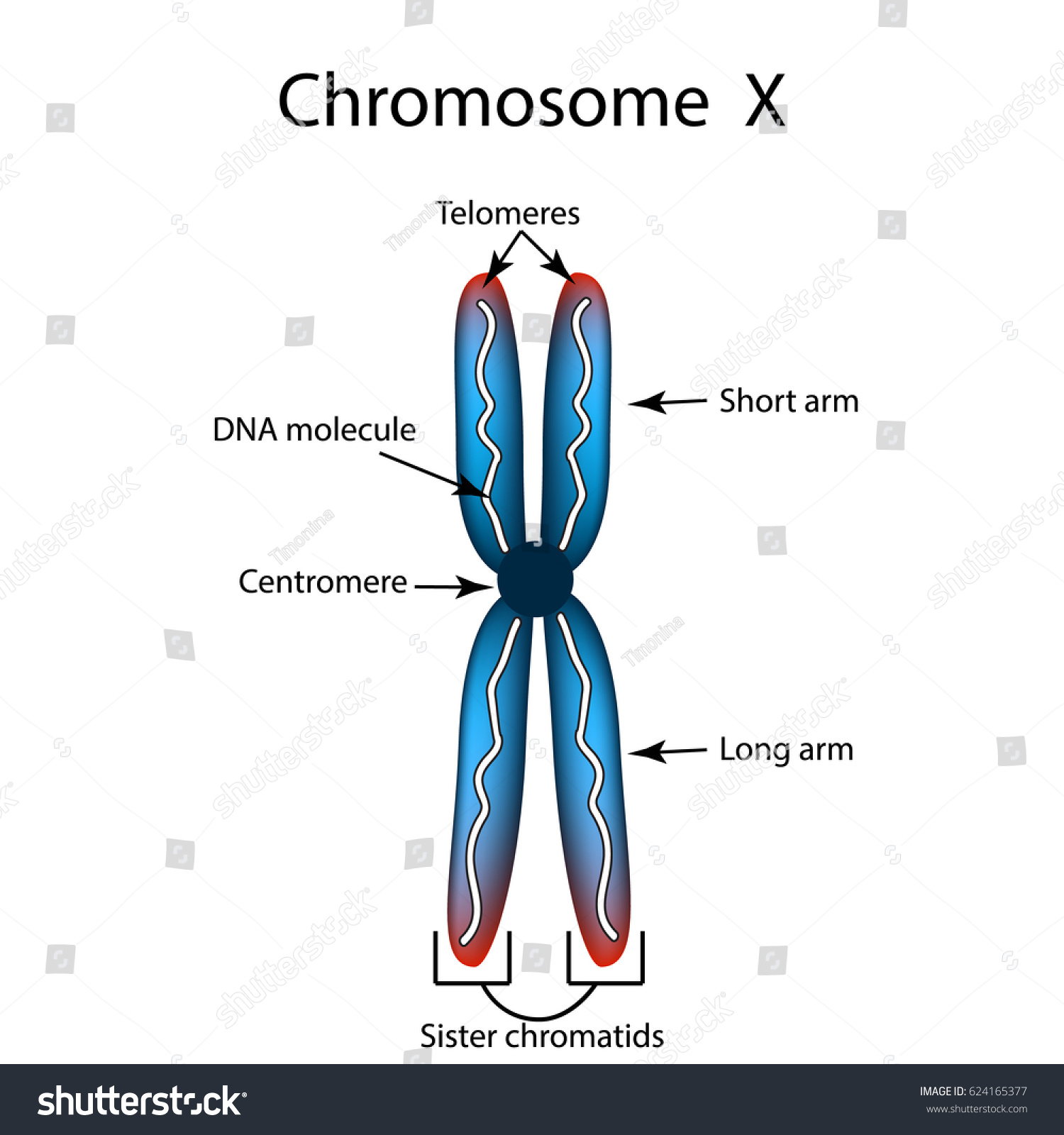 Structure Chromosome Infographics Illustration On Isolated Stock ...