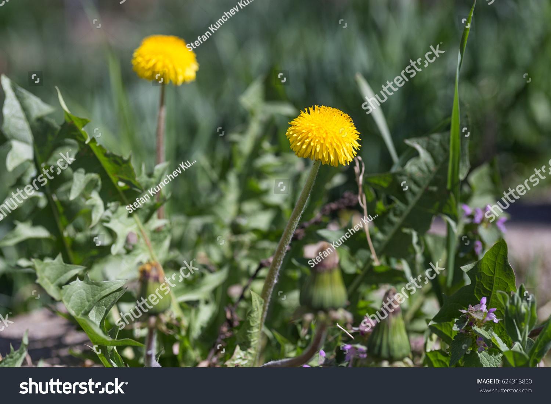 Wild Spring Flowers Yellow Dandelions Lat Stock Photo Edit Now