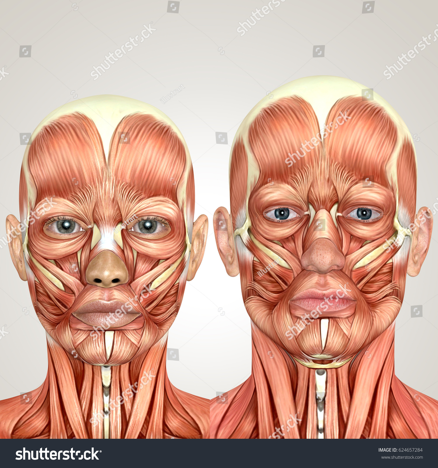 3 D Male Female Face Anatomy Together Stock Illustration 624657284 ...