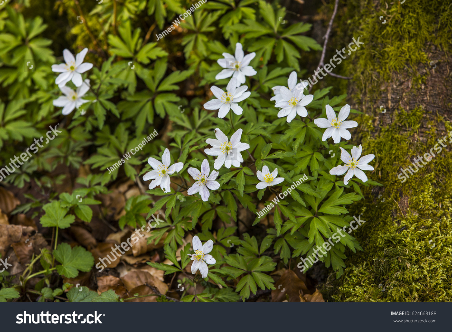 Native Woodland Plant Uk Which Flowers Stock Photo Edit Now