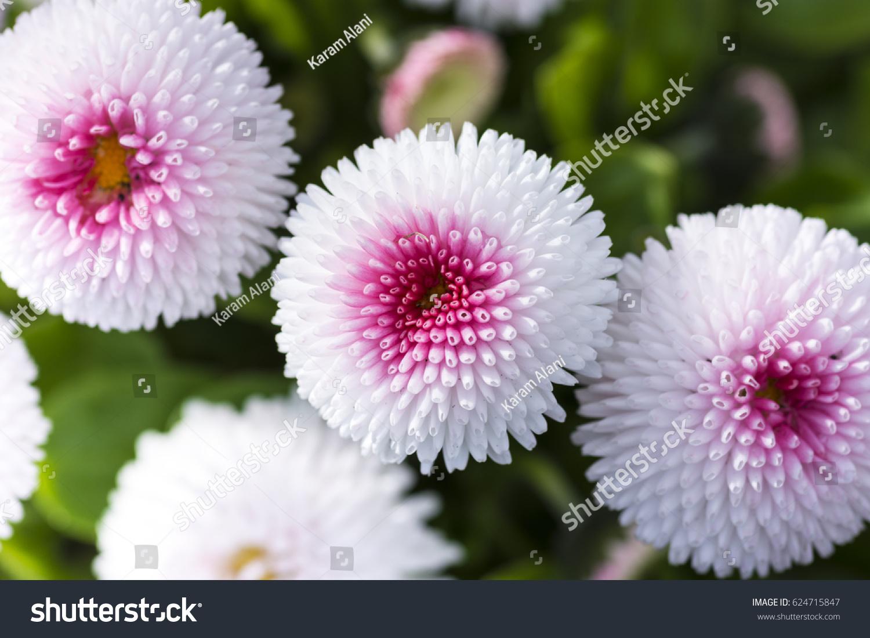 White english daisy flower stock photo edit now 624715847 white english daisy flower izmirmasajfo