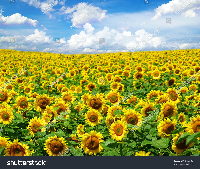 Sunflower Field Stock Photo 62473339 - Shutterstock