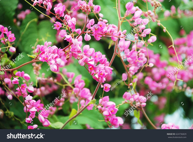 Pink Antigonon Leptopus Coral Vine Mexican Creeper Chain Of Love