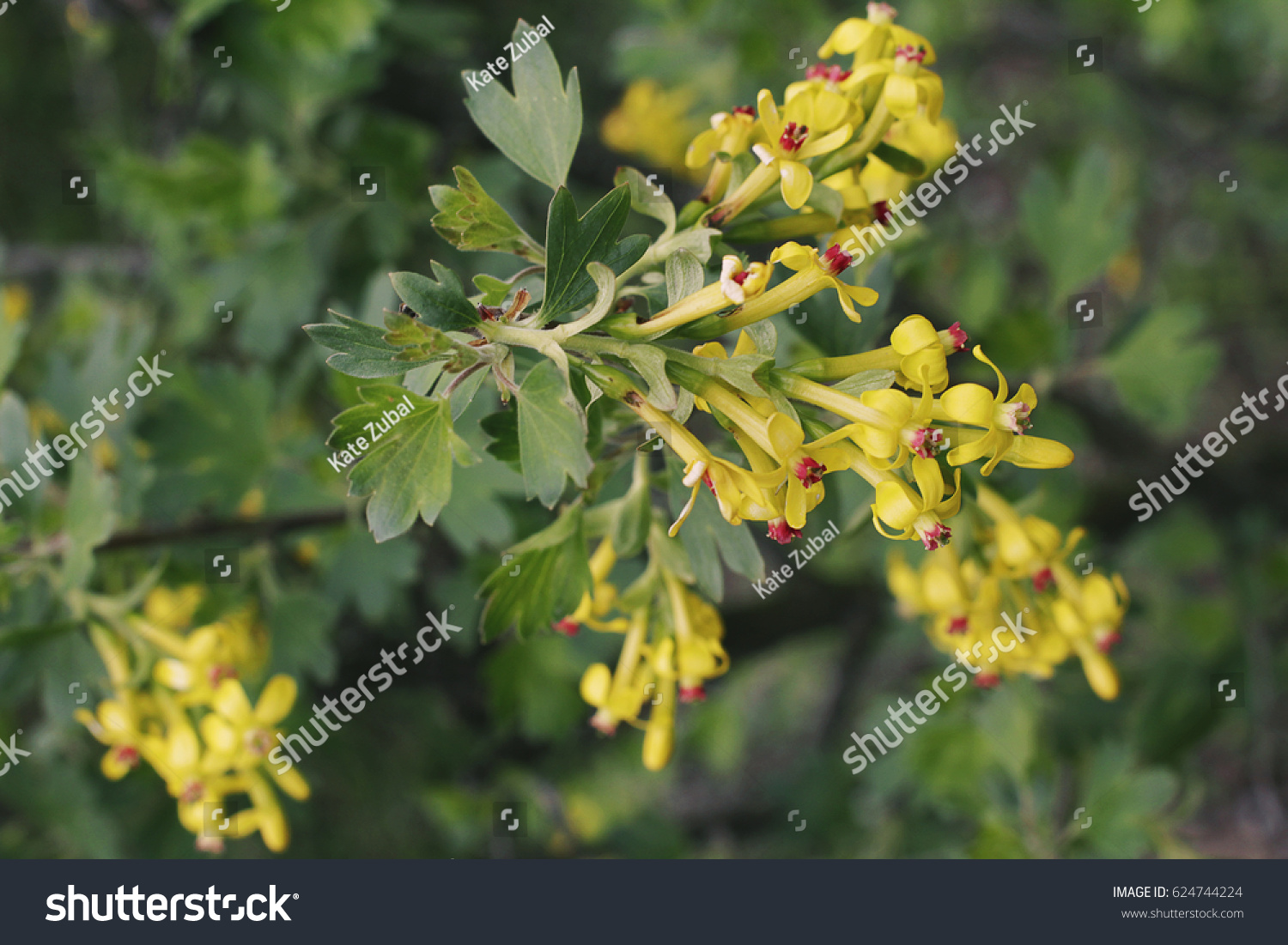 Flowering Bush Of Currant Green Leaves And Yellow Flowers Ez Canvas