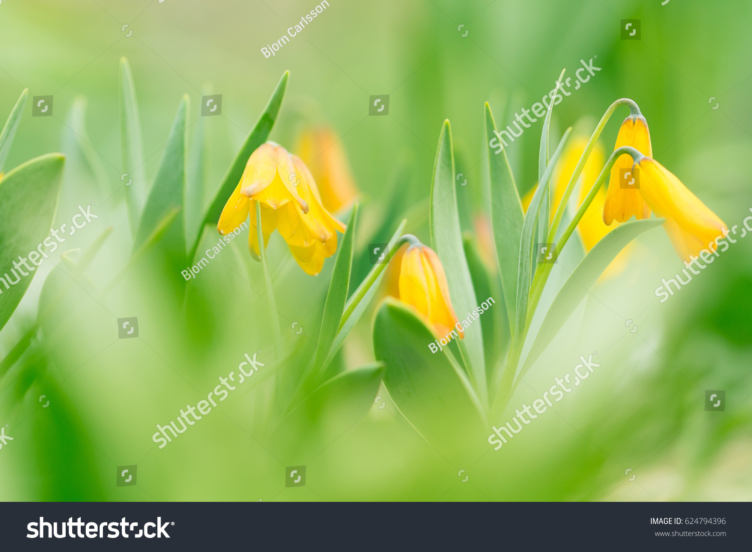 Yellow Bell Flowers Soft Mood Lovely Stock Photo Royalty Free