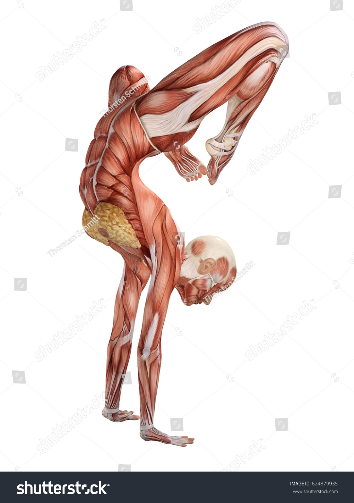 Female Muscle Anatomy Doing Yoga 3 D Stock Illustration 624879935 ...