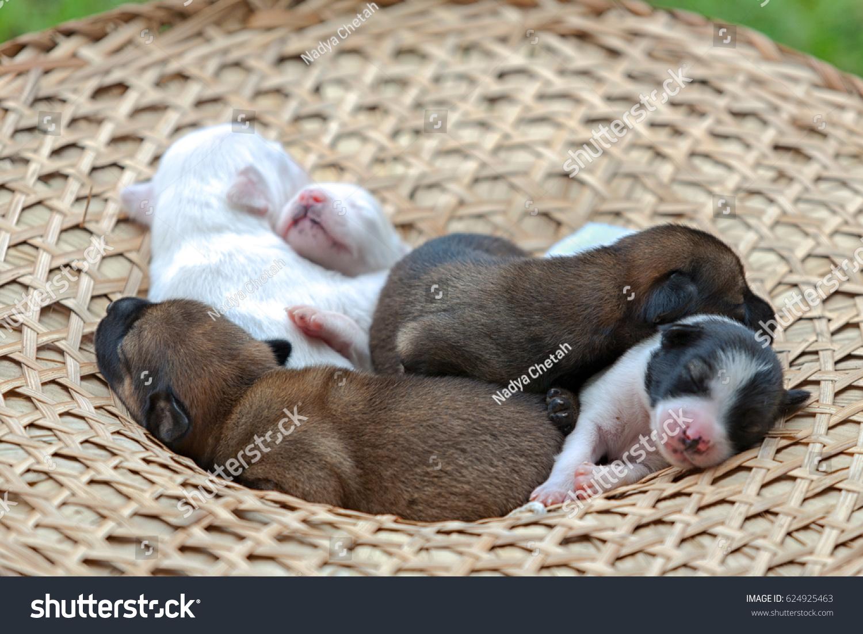 48cc316edd263 New Born Puppy Pedigreed Dog French Stock Photo (Edit Now) 624925463 ...