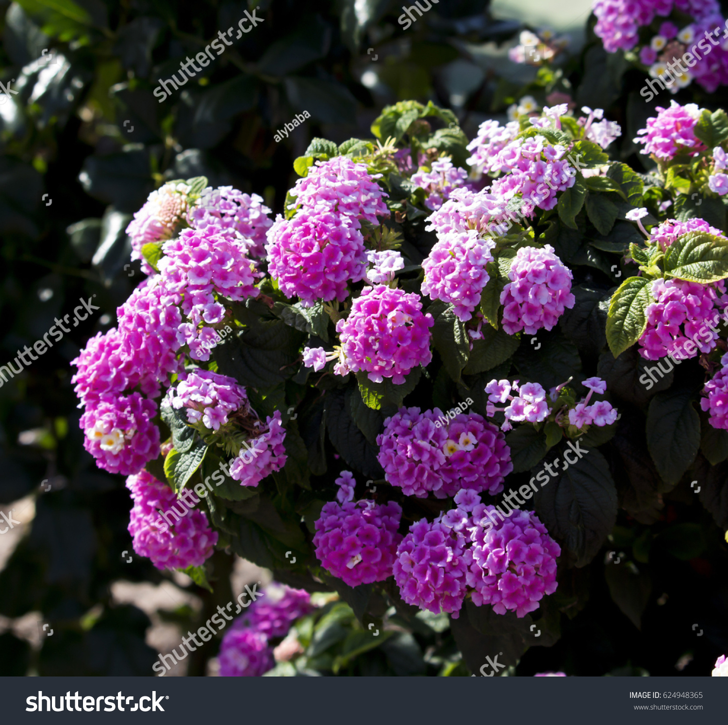 Lantanas Aromatic Flower Clusters Umbels Mix Stock Photo Edit Now