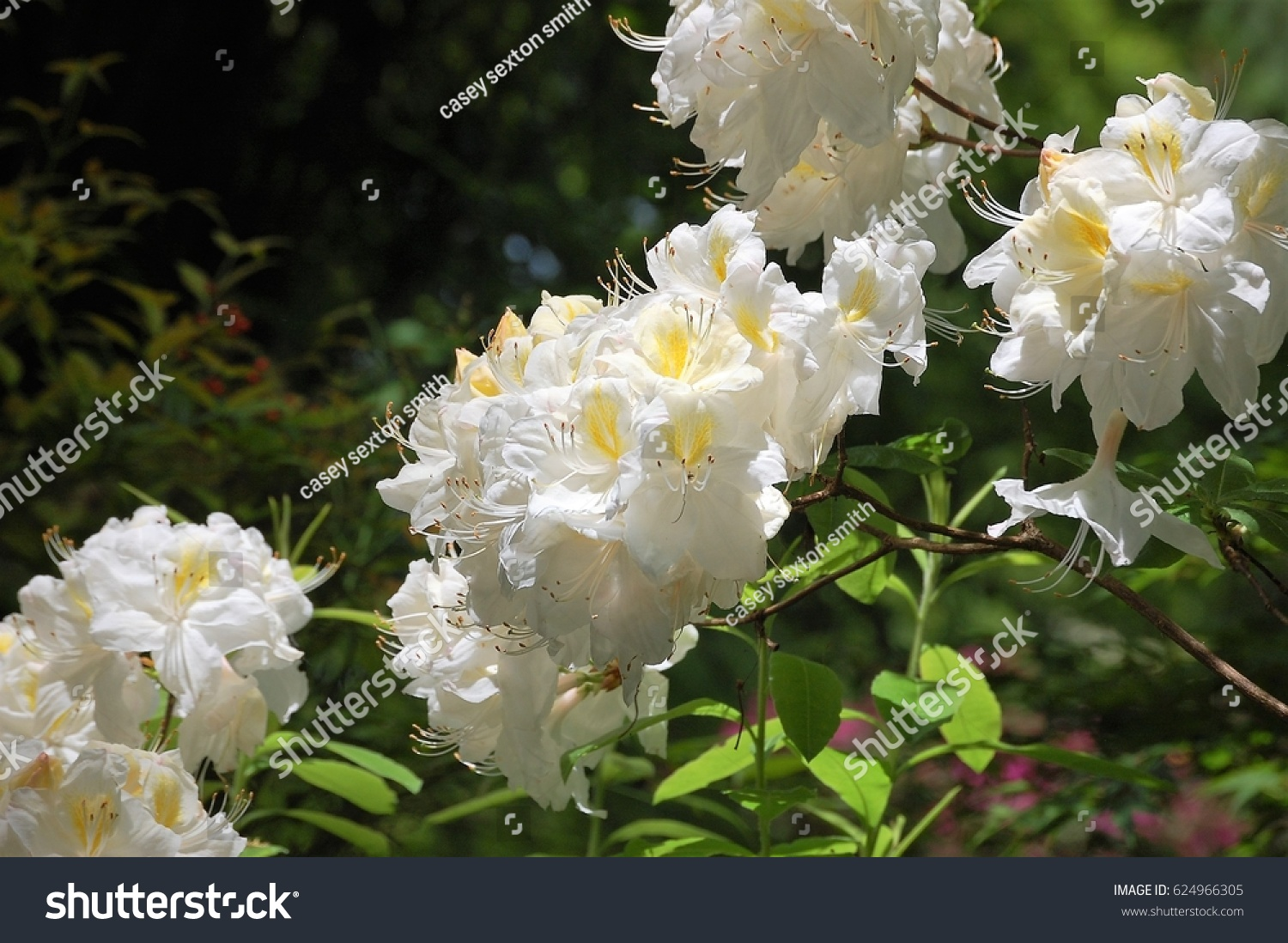 White Cluster Flowers Stock Photo Royalty Free 624966305