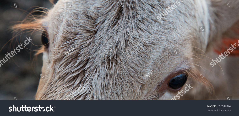 Jersey Cow Eyelashes Closeup Stock Photo Edit Now 625049876