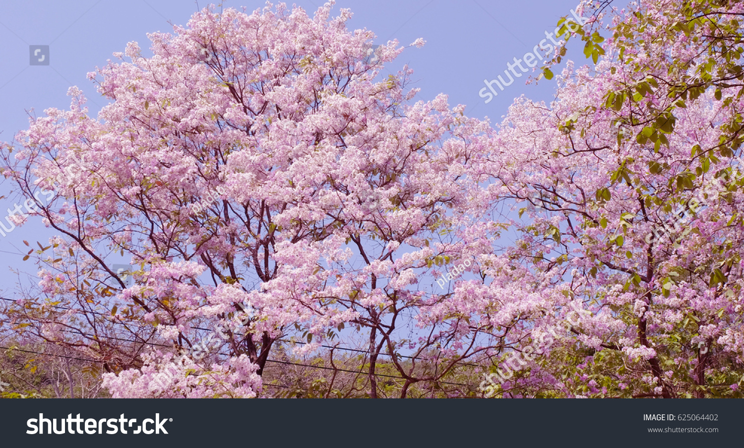 Beautiful Almond Blossoms Blooming Trees Pink Stock Photo Royalty