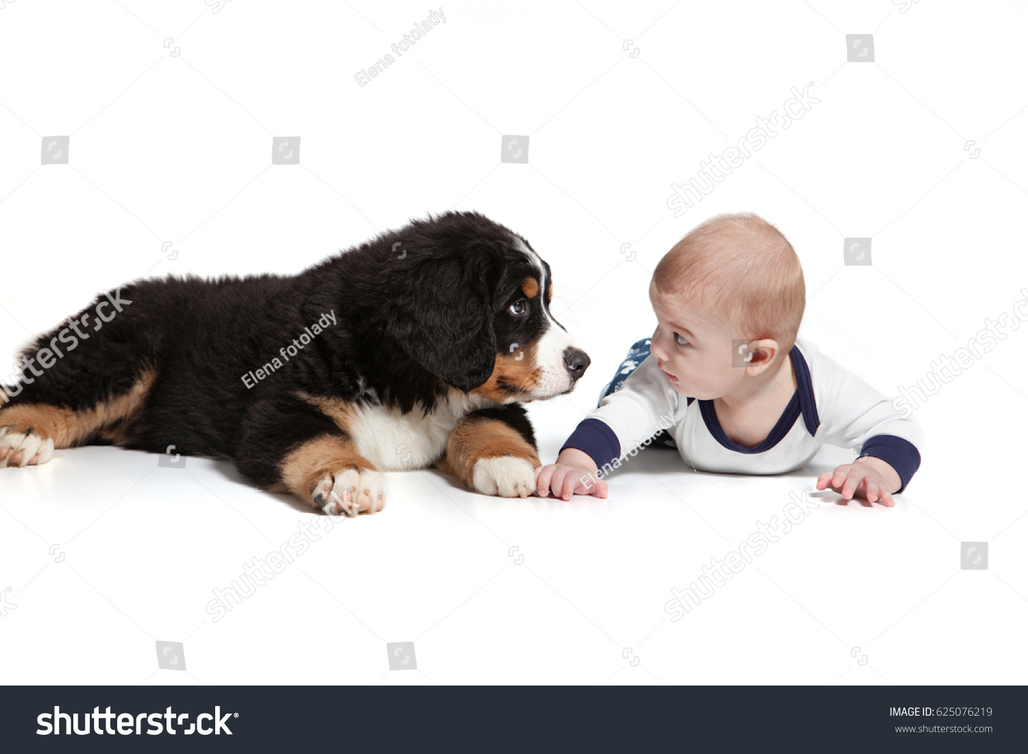 baby boy puppy bernese mountain dog stock photo (download now