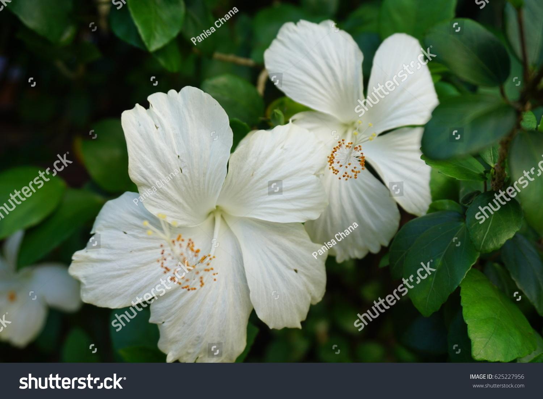 White Hibiscus Flower Ez Canvas