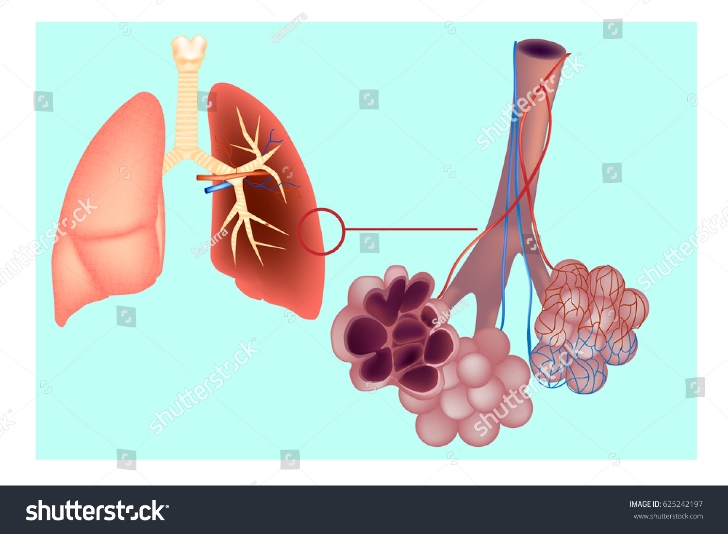 Diagram Pulmonary Alveolus Air Sacs Lung Stock Vector Royalty Free