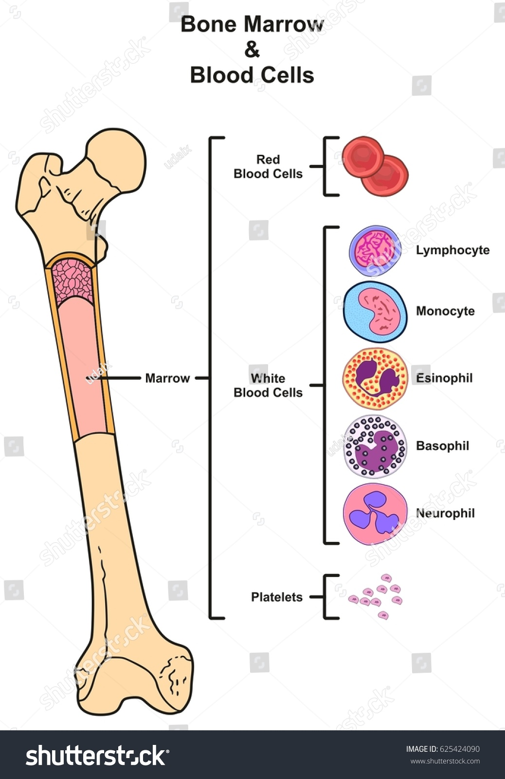 Bone Marrow Infographic Diagram Including Femur Stock ...