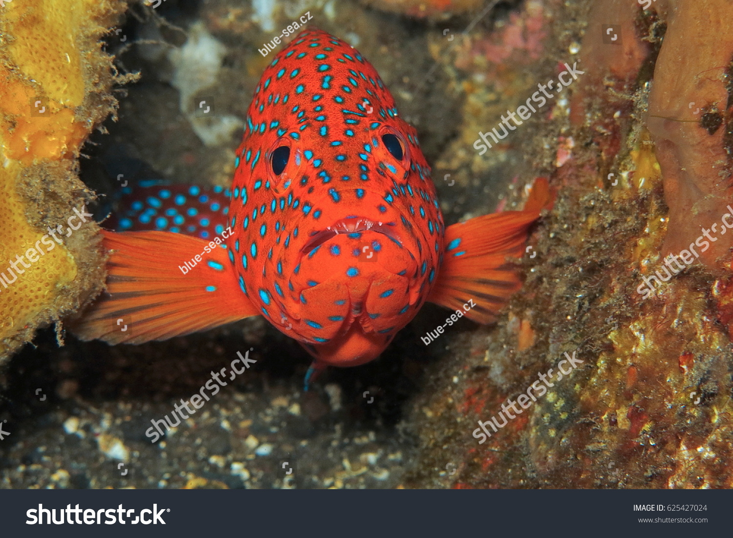 Red Spotted Grouper Fish Hiding Coral Stock Photo (Royalty Free ...