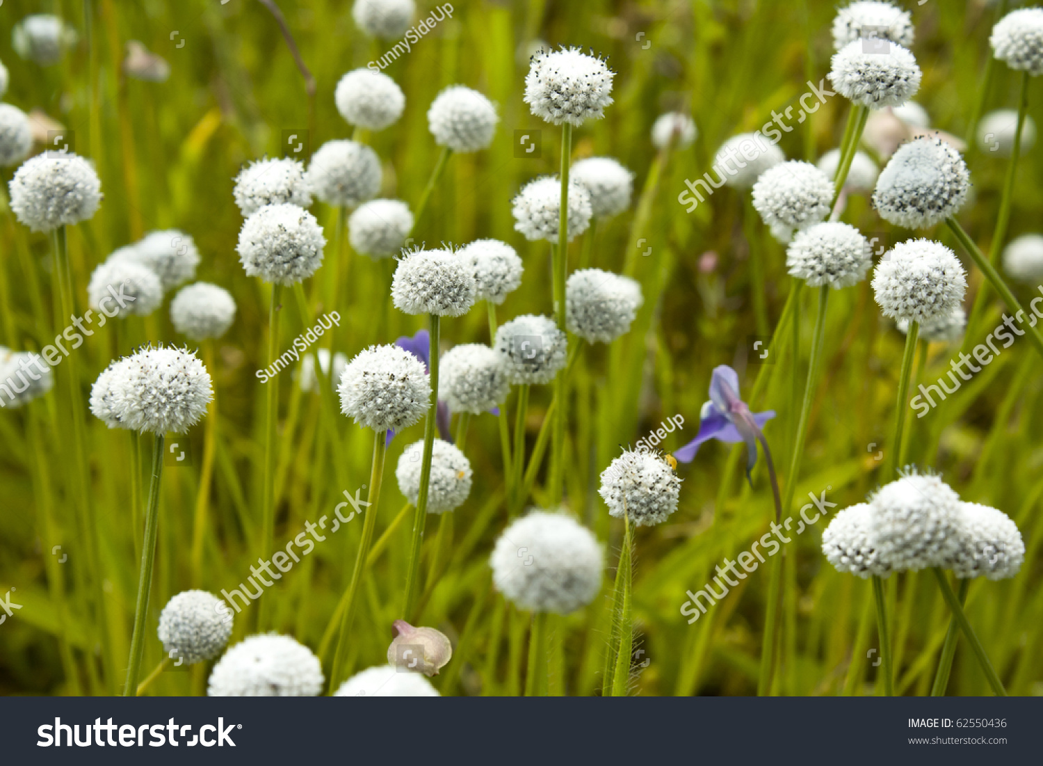 Floral Background White Ballshaped Flowers Stock Photo Edit Now