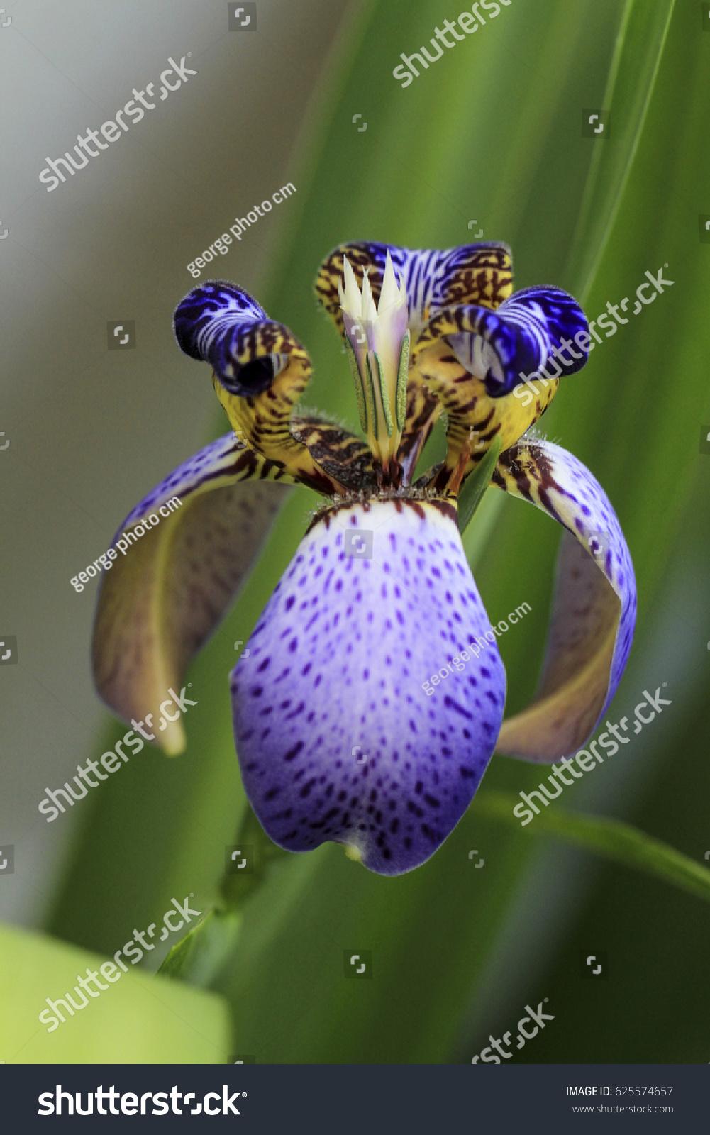 Beautiful walking iris neomarica caerulea iridaceae stock photo beautiful walking iris neomarica caerulea iridaceae izmirmasajfo