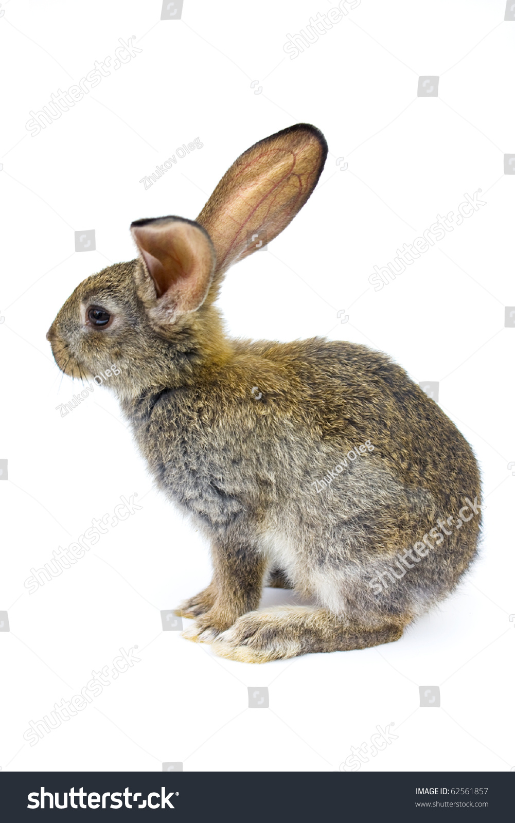 happy new year of rabbit isolated on a white background stock photo 62561857 shutterstock. Black Bedroom Furniture Sets. Home Design Ideas