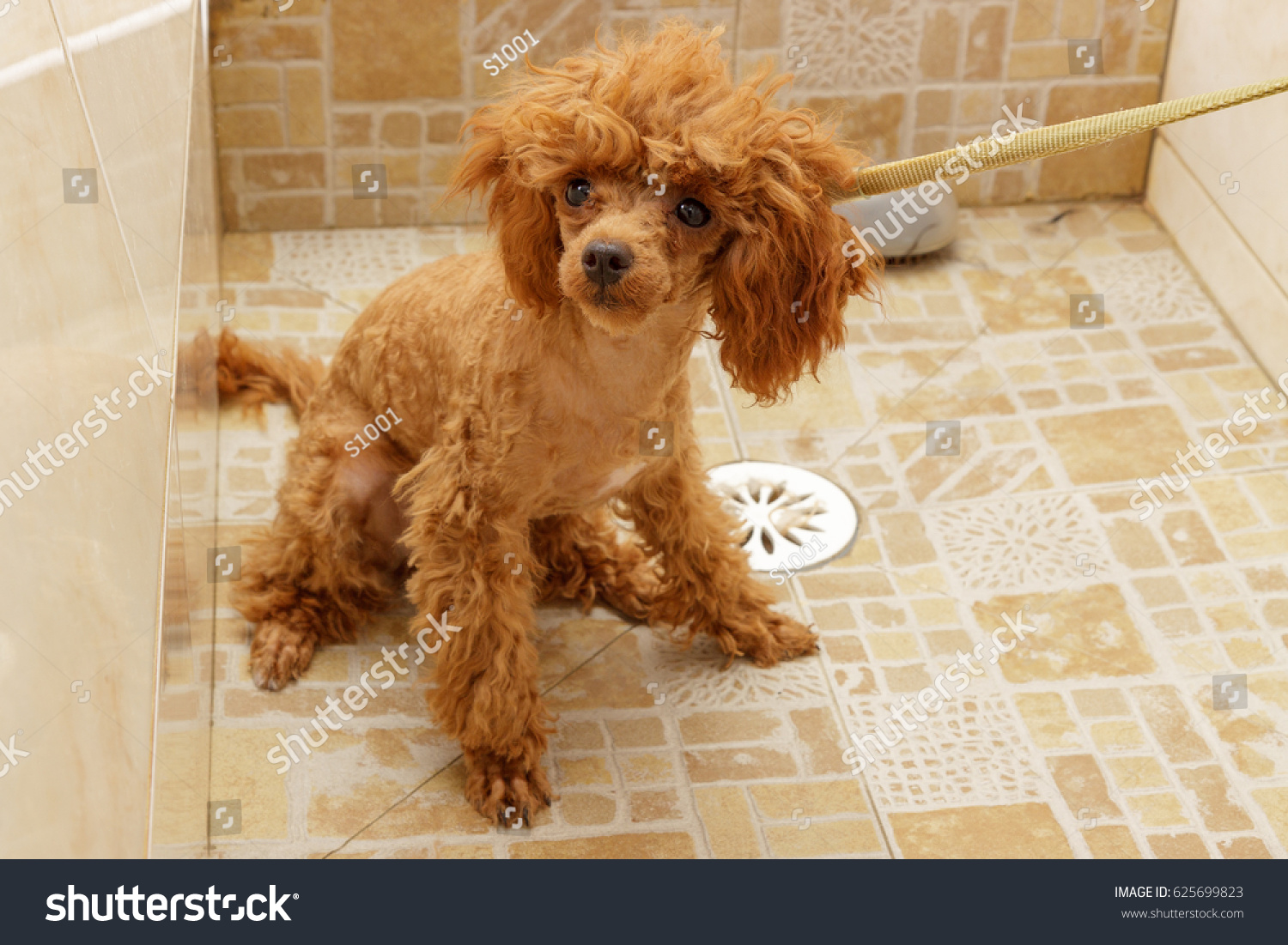 Toy Poodle Waiting Washing Shower During Stock Photo Edit Now
