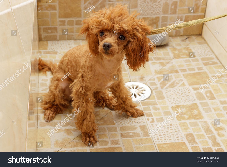 Toy Poodle Waiting Washing Shower During Stock Photo Image