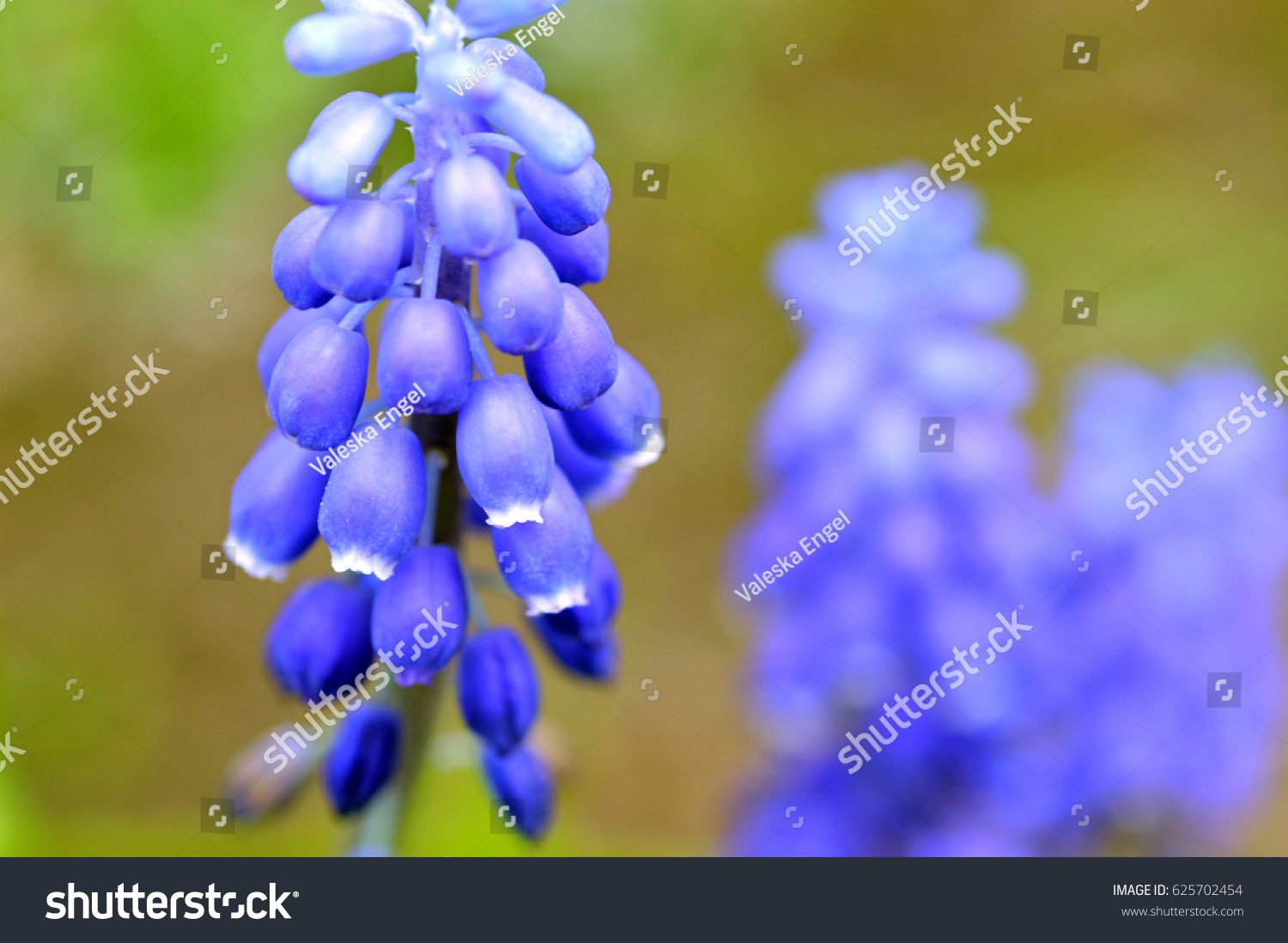Closeup blue violet grape hyacinth flower stock photo edit now closeup of a blue or violet grape hyacinth flower in spring on a nature green background izmirmasajfo