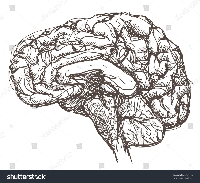 Pen Sketch Human Brain Shown Cross Stock Vector Royalty Free