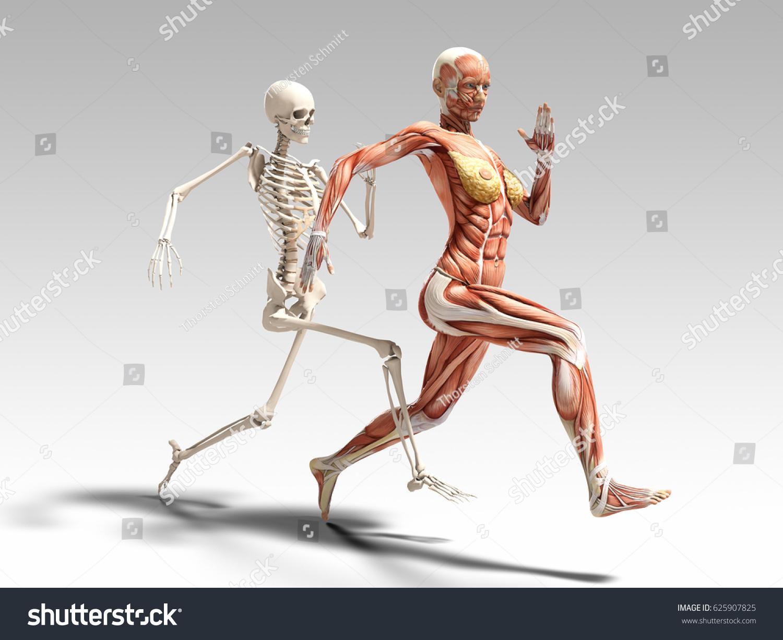 Female Muscle Anatomy Skeleton Running 3 D Stock Illustration ...